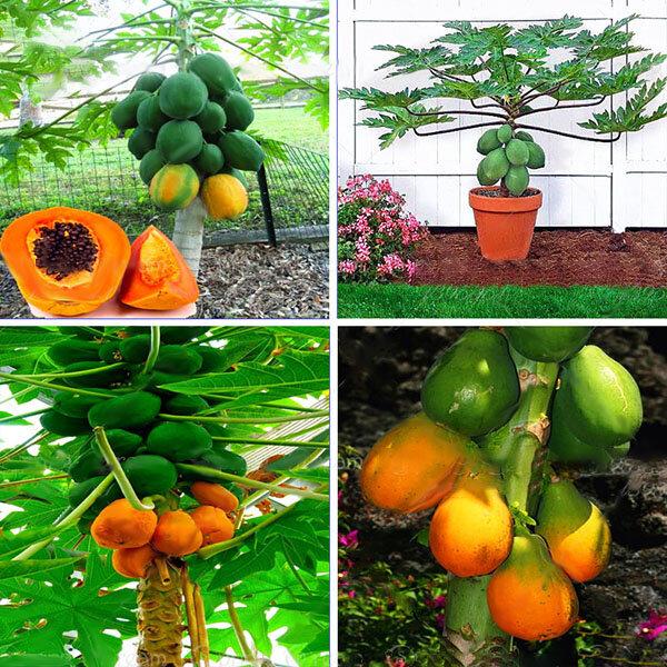 Egrow 15 Pcs / Pack Carica Papaye Graine Organique Fruits comestibles Doux Papaye Bonsaï En Plein Air Graines D'arbres