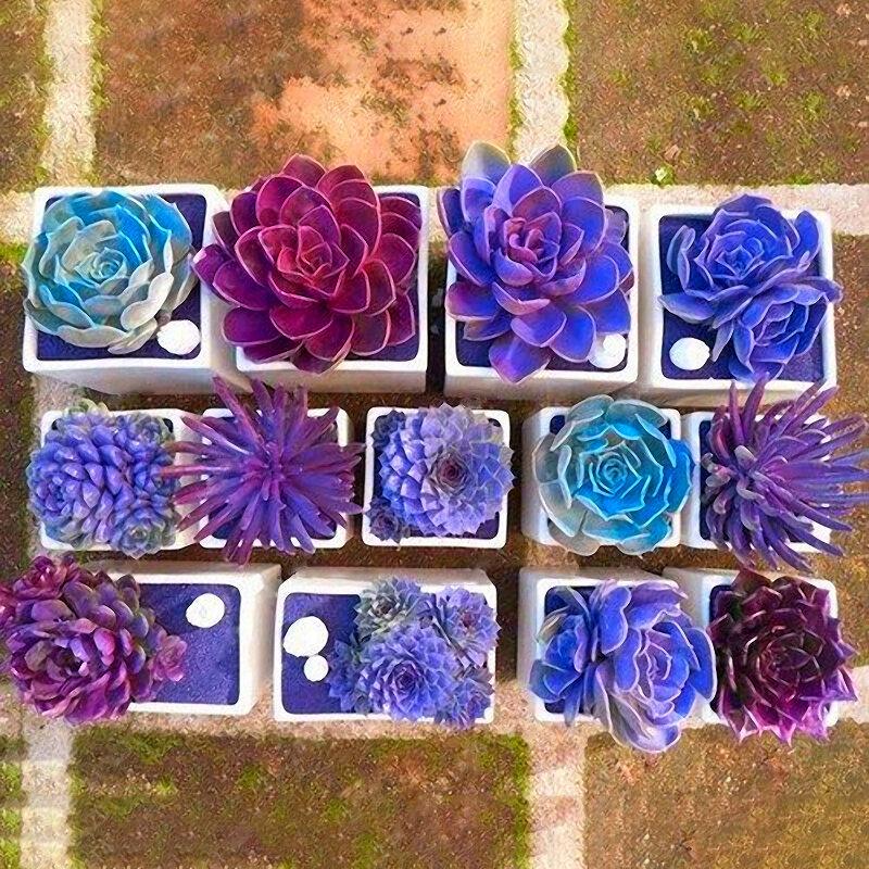 Egrow 200 PCS Echeverione Succulentes Graines Mixtes Couleur Jardin En Pot Fleur Graine Home Deco Bonsaï