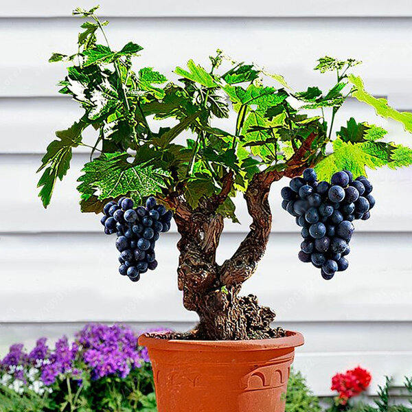 Egrow 50pcs Pack Grape Vine Seeds Organic Outdoor Sweet Fruit Seed Succulent Plants Indoor Bonsai At Banggood