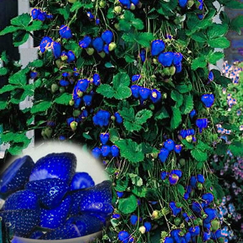 500Pcs 블루 딸기 희귀 과일 야채 씨앗 분재 식용 가든 등산 공장