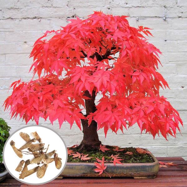 Egrow 10pz Semi di Acero Rosso per Giardino Bonsai Bella Pianta da Appartamento di Interno