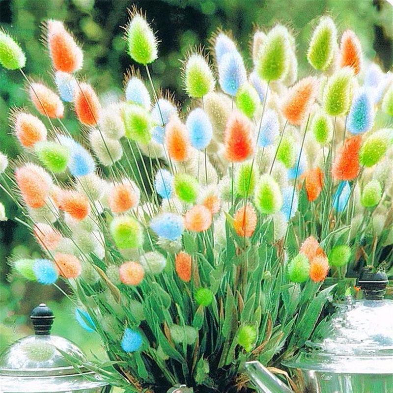 Egrow 100 Pcs / Pack Lapin Queue Herbe Graines Mélangé Couleur Jardin Bunny Queue Herbe Décor Plantes
