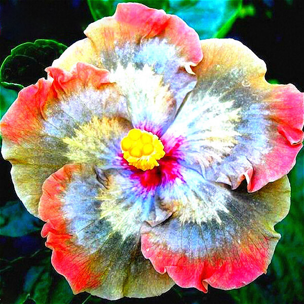 Egrow 50Pcs/Pack Giant Hibiscus Flower Seeds Garden & Home Perennial Potted Plants Flowers