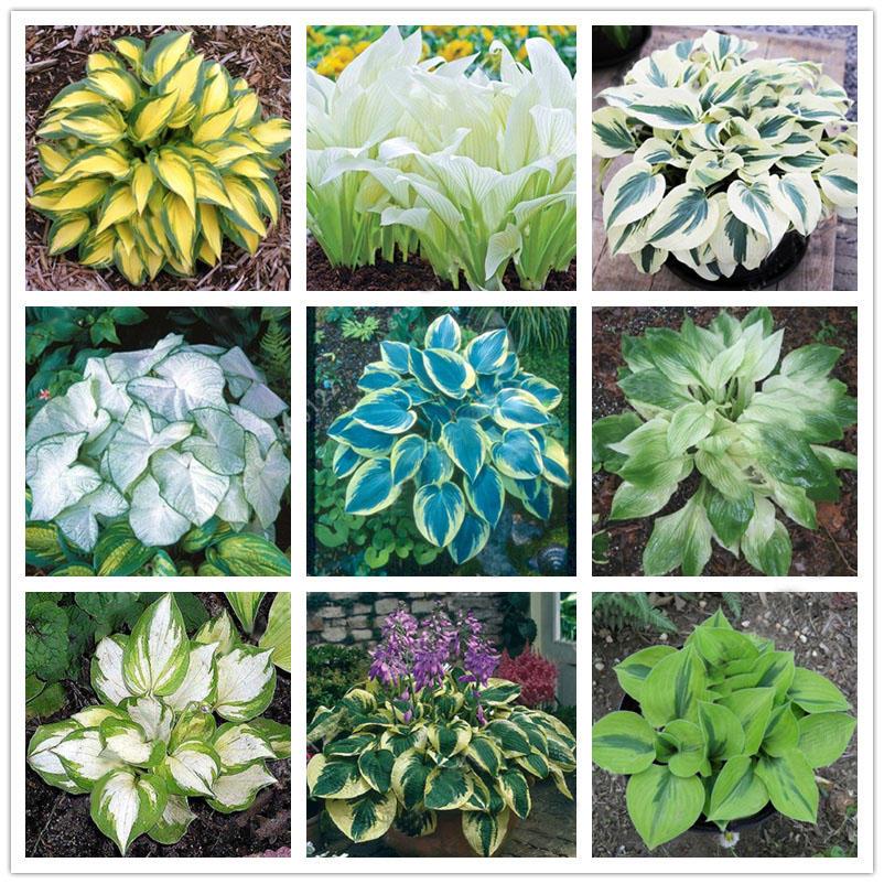 Egrow 100pcs Plantain Lily Flower Seeds Green Yellow Hosta Plants
