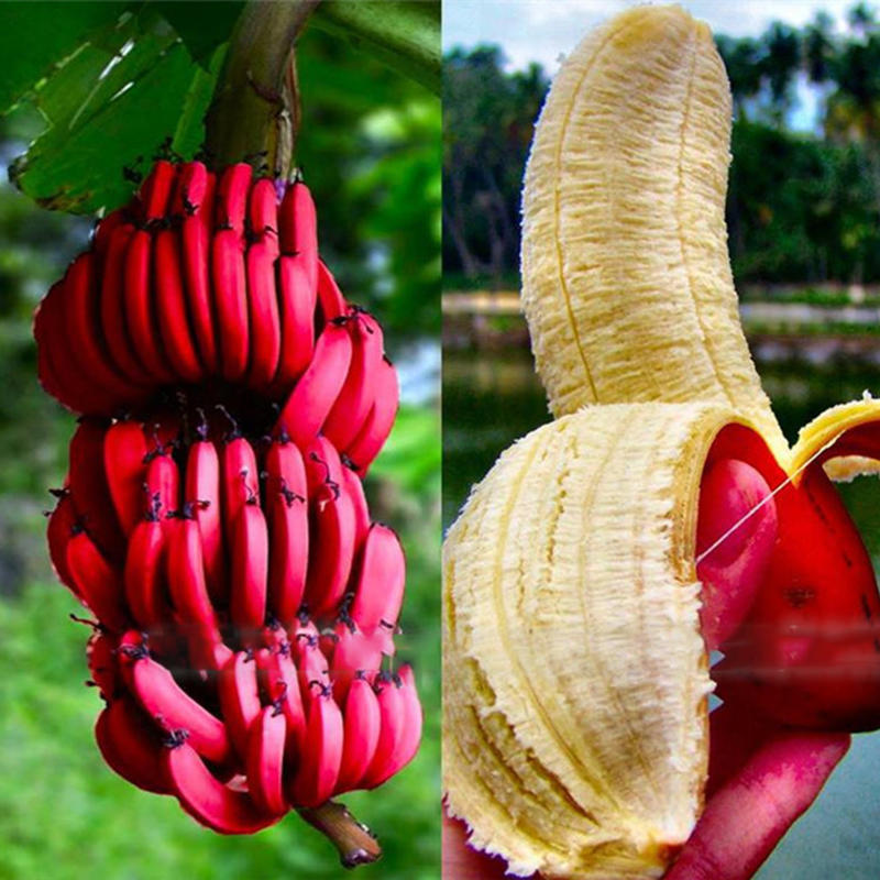 Egrow 40Pcs/Pack Red Banana Seeds Garden Potted Fruit Tree Bonsai