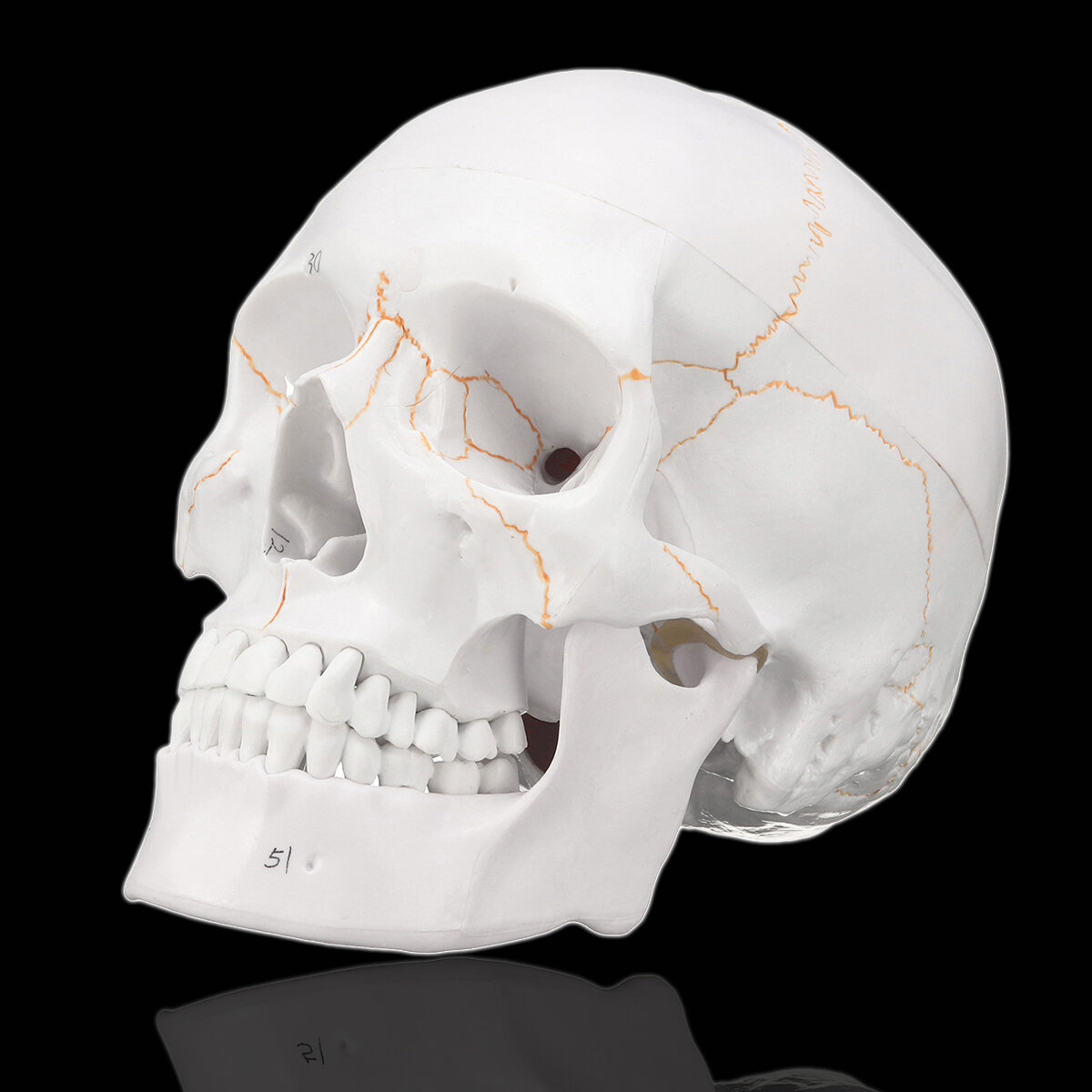 Life Size Human Anatomical Anatomy Head Skeleton Skull Teaching ...