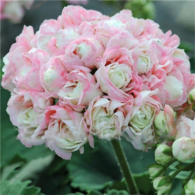 Egrow 100 Pcs Garden Geranium Seed Rare Potted Flower Seeds