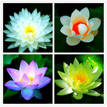 Egrow Lotus Flower Seeds Aquatic Plants Bonsai Lotus Seeds Perennial Plant for Home Garden