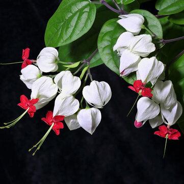 Egrow 20 ชิ้น Clerodendrum thomsonae Balf เมล็ด หายาก ดอกไม้ สวน เมล็ดบอนไซ