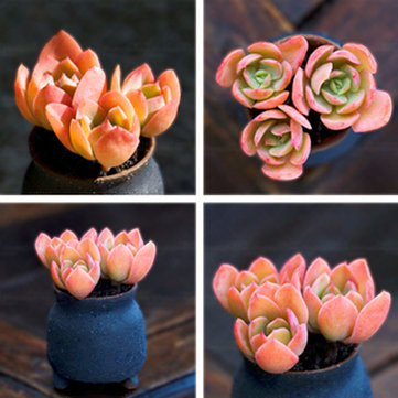 Egrow 100 Pcs/Pack Red Succulent Seeds Home Garden DIY Potted Flower Seed Ornamental Plants