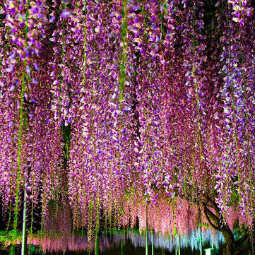 Egrow 10Pcs/Pack Blue Purple Wisteria Tree Seeds Garden Indoor Ornamental Plants Wisteria Flower