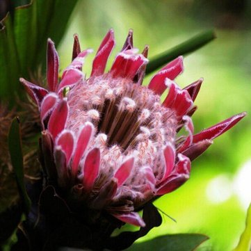 Egrow 50Pcs/Pack Protea Cynaroides Seeds Rare Bonsai Potted Flower Seed Home Garden Plants