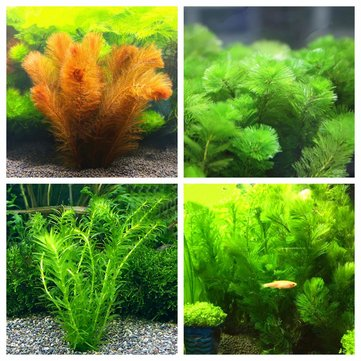 Egrow 200Pcs/Pack Ceratophyllum Seeds Aquarium Grass Plant Seeds Fish Tank Decorations