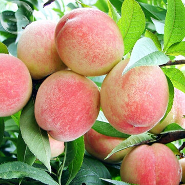 Egrow 5Pcs/Pack Peach Tree Seeds Garden Dwarf Bonanza Sweet Peaches Bonsai Fruit Plants Seeds