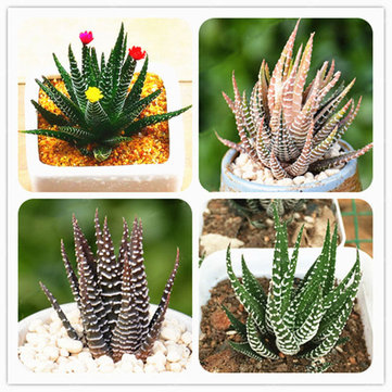 Egrow 100Pcs/Bag Haworthia Fasciata Seeds Aloe Vera Seeds Succulent Plant Seed Flower Bonsai