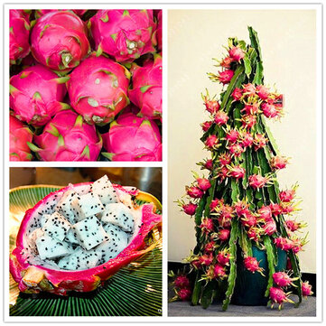 Egrow 50 Pcs/Pack Pitaya Seeds Red White Dragon Fruit Tree Seed for Outdoor Courtyard Plants
