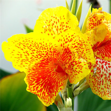 Egrow 10Pcs/Pack Canna Seeds Plants Indoor Outdoor Pot Flower Seed Home Garden Yard Bonsai