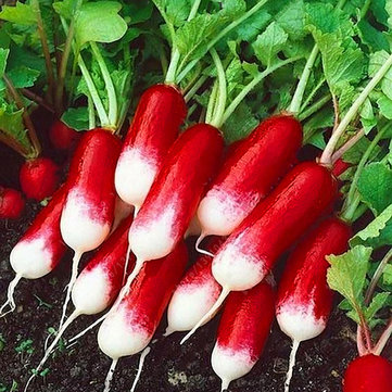 Egrow 100Pcs/Bag Sausage Radish Seeds Rare Sausage Radish Seeds Juicy And Nutritious Early Spring Radish Very Delicious Vegetable Garden Food Easy to Grow
