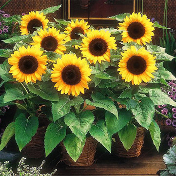 Egrow 20Pcs/Pack Sunflower Seeds Home Garden DIY Snack Flower Decoration Plants Bonsai