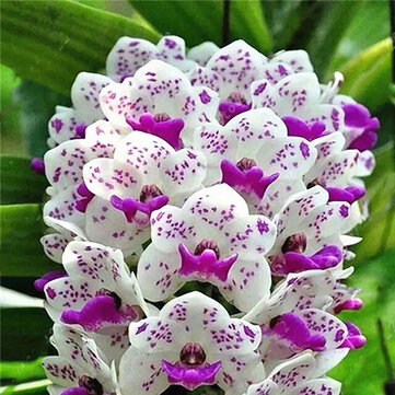 Egrow 100Pcs/Bag Cymbidium Orchid Seeds Silk Butterfly Orchid Artificial Flower Wedding Decoration