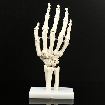 Life-size Hand Joint Human Medical Anatomical Study Hand Skeleton Model