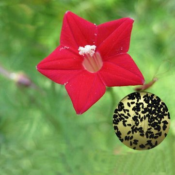 Egrow 20Pcs/Pack Cypress Vine Seeds Red White Gardening Wall Door Climbing Flowers Plants