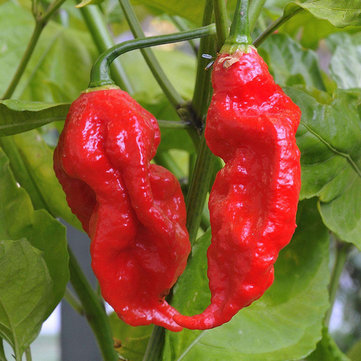 Egrow 200Pcs Indian Ghost Pepper Seeds Chili Seeds Vegetable Rare Red Carolina Pepper Seeds