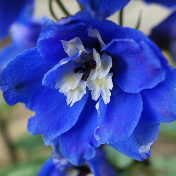Egrow 100Pcs Delphinium Grandiflorum Flower Seeds Home Gardening Bonsai Garden Decor