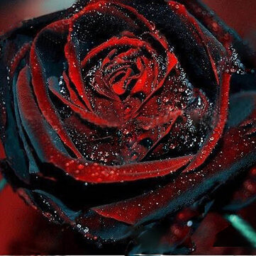 Egrow 100Pcs Black Rose Seeds Flower With Red Edge Rare Rose Garden Bonsai Seeds