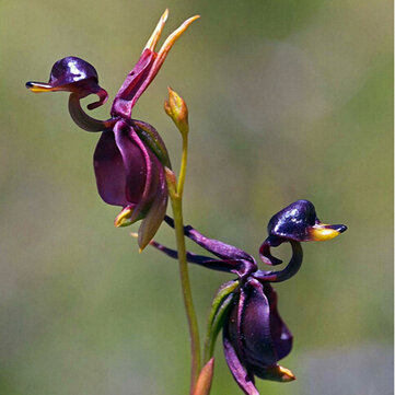 Egrow 100Pcs/Pack Caleana Major Flying Duck Orchid Seeds Garden Potted Decor Flowers Plants Seeds
