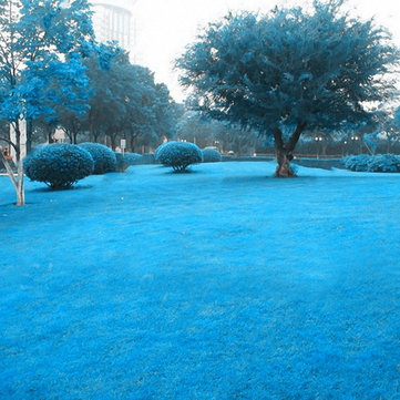 Egrow 500 PCS Blue Grass Seed Rare Lawn Seeds Garden Courtyard Decoration Perennial Grass
