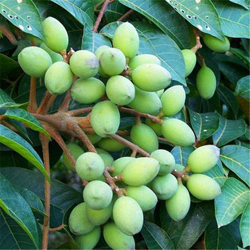 Egrow 8Pcs/Bag Olive Tree Seeds Semente Plants Perennial Delicious Garden Fruit Seed