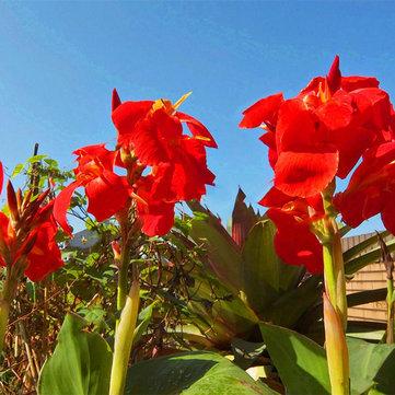 Egrow 100Pcs/Pack Canna Lily Seeds Garden Outdoor Bonsai Tropical Bronze Scarlet Flower Seeds