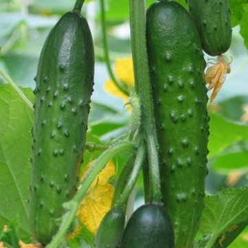 Egrow 20 Pcs/Pack Cucumber Seeds Crisp Vegetable Fruit Seed for Home Garden Greenhouse Planting