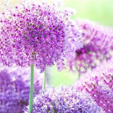 Egrow 100 PC 거대한 부추 속 Giganteum 꽃 씨앗 아름다운 정원 안뜰 분재 씨앗 씨앗