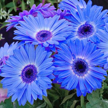 Egrow 100Pcs/Pack Gerbera Daisy Seeds Majorette Blue Halo Fragrant Bellis Flower Seeds
