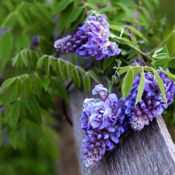 Egrow 10Pcs/Bag Garden Creepers Wisteria Seeds Rare Bonsai Tree Seeds Ornamental Plant Flower Seeds