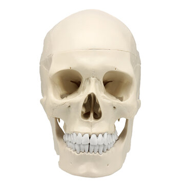 Life Size Human Anatomical Anatomy Resin Head Skeleton Lifesize Skull Medical Teaching Model