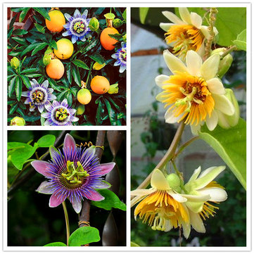 Egrow 50Pcs/Pack Passiflora Incarnata Seeds Home Garden Plants Passion Fruit Flower Bonsai Seeds