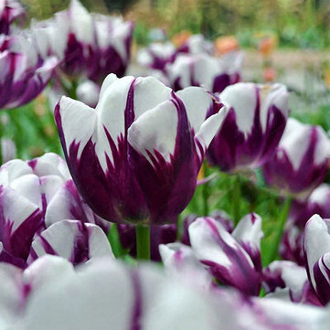 Egrow 10Pcs Perennial Perfume Tulip Seed Mixed Color Tulip Flower Bonsai Seeds Outdoor Planting
