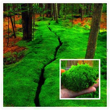 Egrow 100Pcs/Pack Moss Seeds Home DIY Bonsai Decoration Grass Seeds Potted Plants Seeds