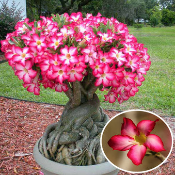 Egrow 1pcs Red Desert Rose Flower Seeds Garden Adenium Obesum Succulent Potted Plant