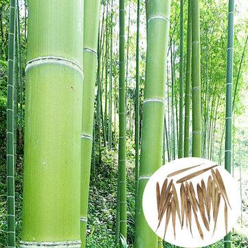 Egrow 100pcs Jardin Jardin Cour Usines de Tonnelle à Feuilles Persistantes Graines de Bambou Moso