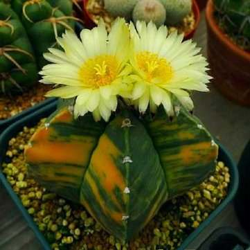 Egrow 10Pcs/Pack Yellow Core Cactus Seeds Mini Green Succulent Bonsai Plants Seeds