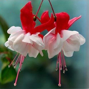 Egrow 10Pcs Fuchsia Lanterns Flower Seeds Garden Balcony Begonia Bell Pot Flower Seeds