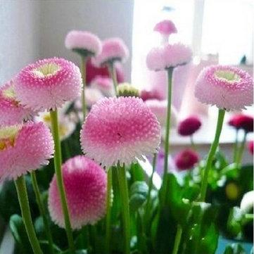 Egrow 200PCcs 딸기 아이스크림 작은 데이지 씨앗 홈 정원에 대 한 분재 식물 씨앗