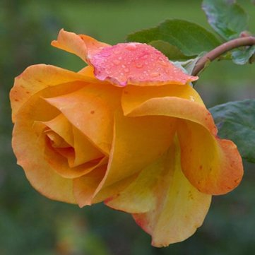 50 Pcs Yellow Rose Seeds DIY Home Garden Dec